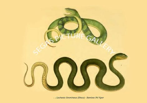Fine art print of the Lachesis Gramineus (Shaw) - Bamboo Pit Viper -  by P. A. Ouwens (1916)